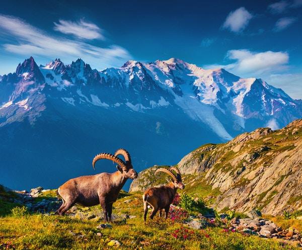 Alpin Ibex (Capra Ibex) på Mont Blanc (Monte Bianco) bakgrunden. Färgglad sommarmorgon i Vallon de Berard Nature Preserve, Graian Alps, Frankrike, Europa.