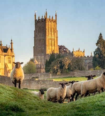 Cotswold får nära Chipping Campden i Gloucestershire med kyrkan i bakgrund på soluppgång.