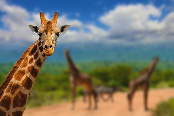 Giraff på savannah i Afrika, Kenya i Kenya