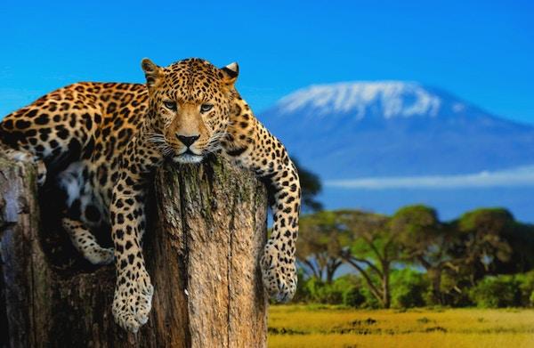 Leopard som sitter på ett träd på en bakgrund av Kilimanjaro-berget