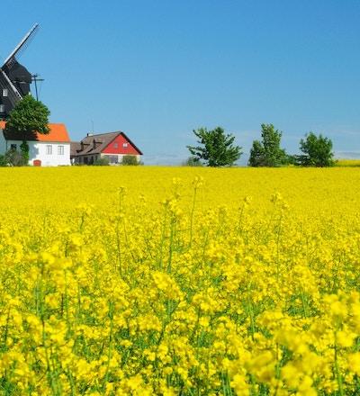 Rapsfält med gammaldags väderkvarn under klarblå himmel under sommaren i Kronetorp Skåne Sverige.