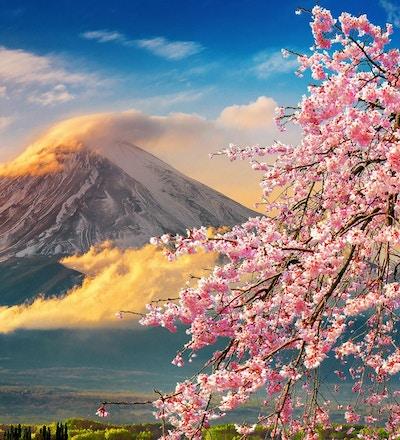 Fuji berg och körsbärsröda blomningar på våren, Japan.