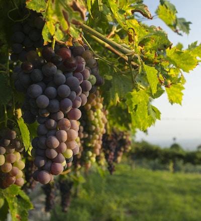 Blåa druvor som är upplysta av varmt solljus. foto