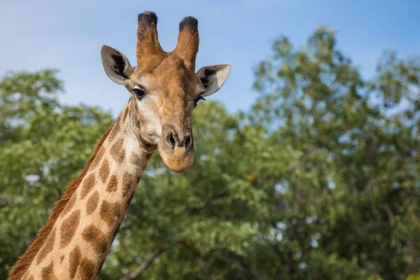 Ensam Giraff