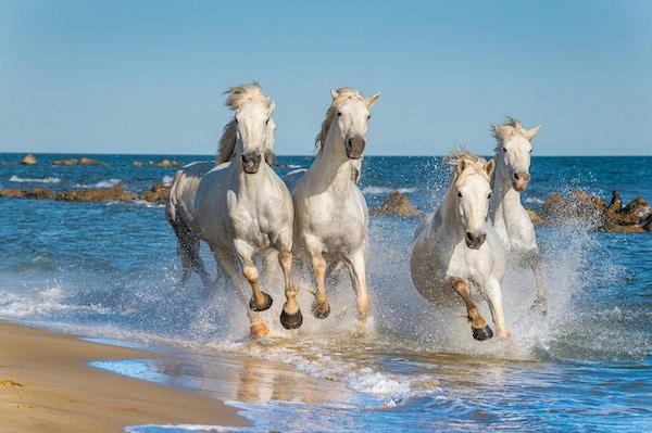 Flock av vita Camargue hästar snabbt genom vatten i solnedgångljus. Parc Regional de Camargue - Provence, Frankrike
