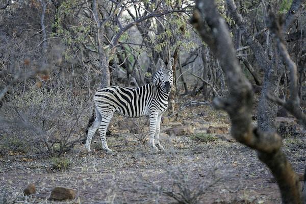 Safaritur på Sebatana Lodge