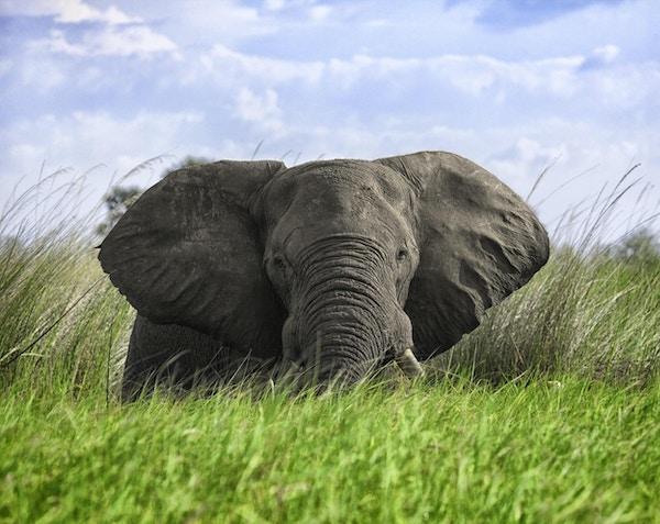 Elefantmöte i djupt gräs i Okavangodeltan