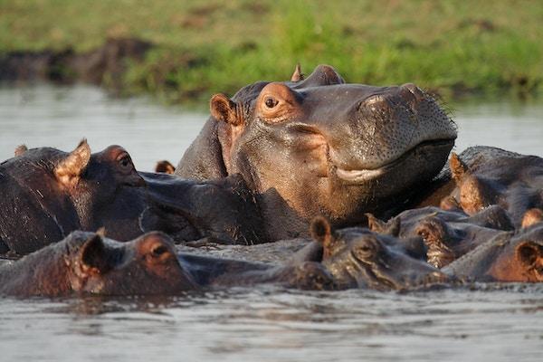 Flodhästar i Chobe River, Caprivi Strip, Chobe National Park, Botswana, Afrika