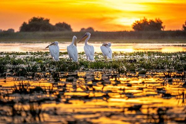 Donau Delta, Rumänien. Pelikaner vid soluppgång