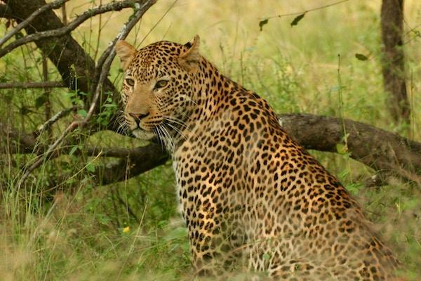 Leopard Makutsi