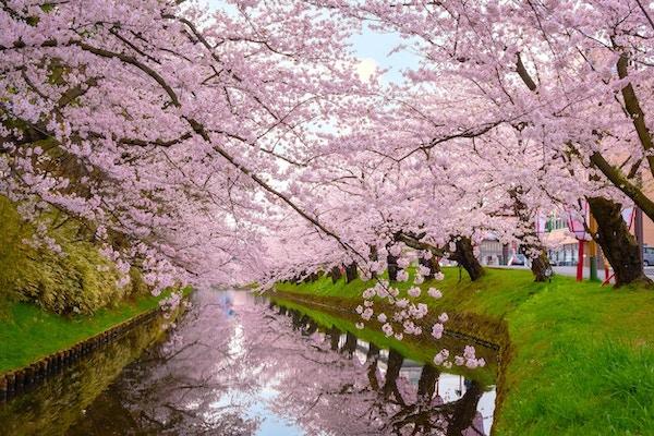Sakura - Cherry Blossom i Hirosaki-parken, en av de vackraste sakura-platserna i Tohoku-regionen och Japan