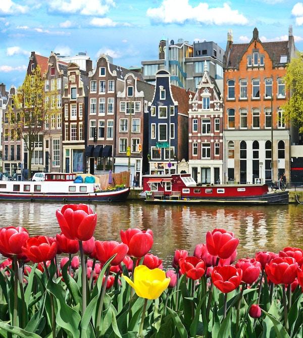 Vackert landskap med tulpaner och hus i Amsterdam, Holland (gratulationskort - koncept)