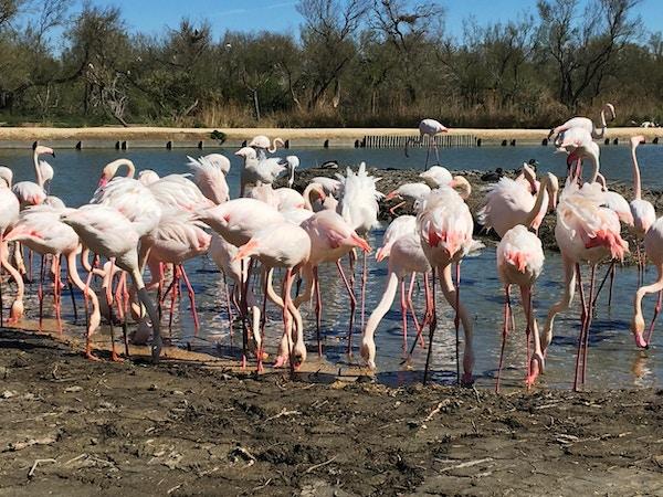 Rosa flamingoer i Camargue