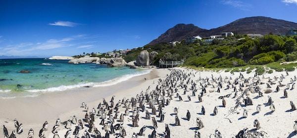 Stenblockstrand i Simons Town, Kapstaden, Sydafrika. Vackra pingviner.