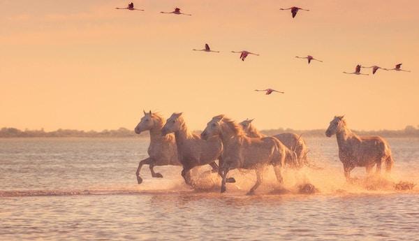 Vackra vita hästar springer på vattnet mot bakgrund av flygande flamingos i mjukt solnedgångljus, Parc Regional de Camargue, Bouches-du-Rhône, Provence.