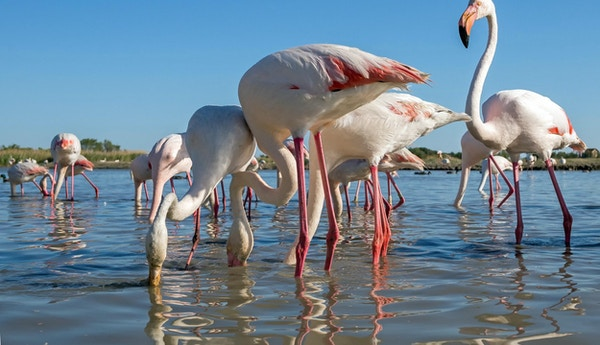 En stor grupp rosa flamingo fotograferade underifrån (Camargue, Frankrike)