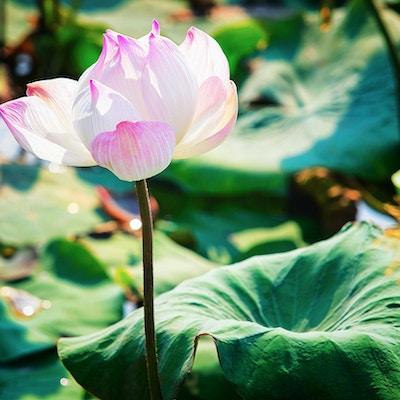 Rosa Lotus blommar fältet och lantgården i Siem Reap, Kambodja.