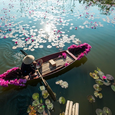 Yenflod med roddbåten som skördar näckros i Ninh Binh, Vietnam