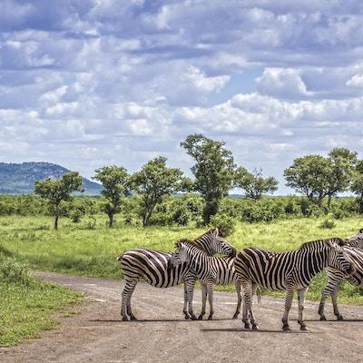 Zebror på savannen i den Kruger nationalparken, Sydafrika.