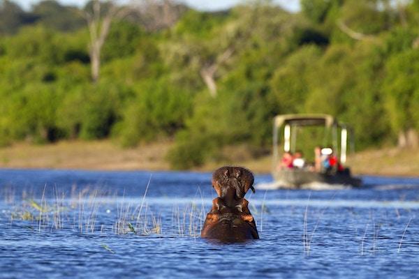 En flodhäst gäspar på en närmande turistbåt på Chobe-floden i Botswana