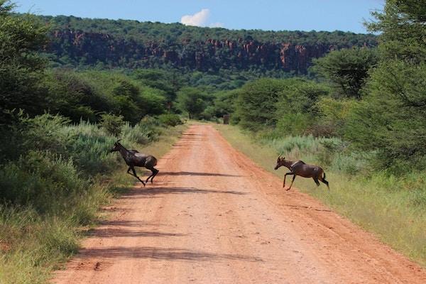 Ett par Topi (Damaliscus lunatus) kör över vägen vid Waterberg Plateau National Park i Namibia.
