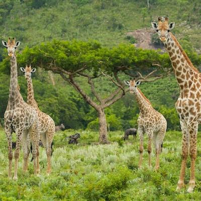 Fem giraffanseende spridda runt ett akaciaträd vid foten av ett berg i Kruger National Park.
