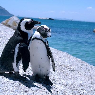 På Boulders Beach ser du pingviner i fri rörelse.