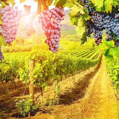 Säsongsbakgrund. Pittoresk vingård vid solnedgången. Röda druvor som hänger i vingården. Rader av druvor i Stellenbosch nära Kapstaden, Sydafrika. Filial av druvor som är klara för skörd.