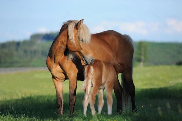 Häst Island