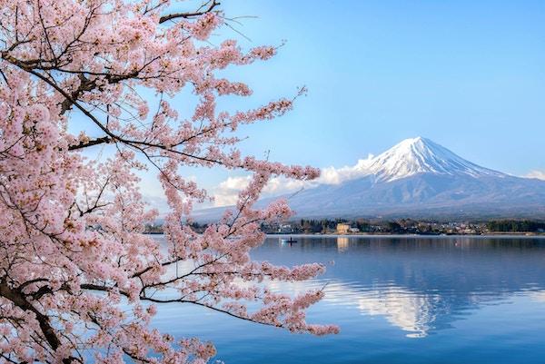 Montera fuji på sjön kawaguchiko med körsbärsröd blomning i Yamanashi nära Tokyo, Japan.