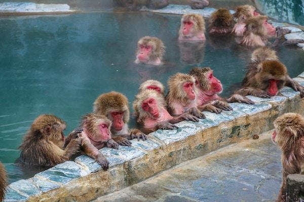Snöapor (japansk makak) som kopplar av i en varm vårpöl (onsen), Hakodate, Japan.