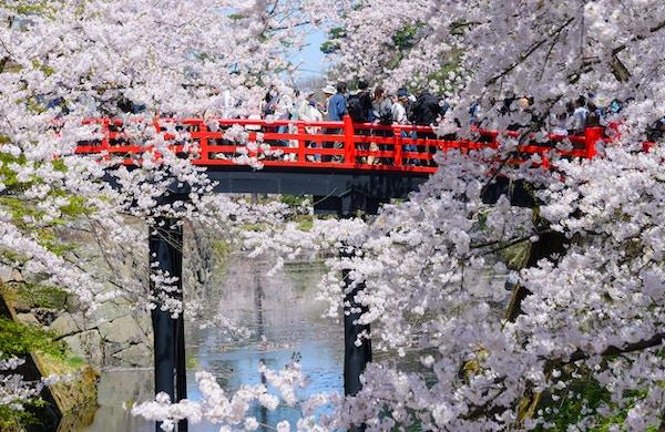 Körsbärsröda blomningar (Sakura) på Hirosaki Castle Park i Hirosaki stad, Aomori prefektur, Japan.