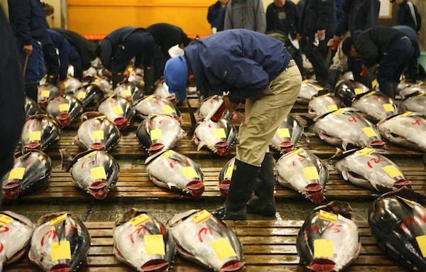 Tonfisk inspekteras på Tokyos fiskmarknad