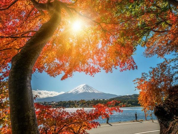 Färgglad höst i Fuji-berget, Japan - Lake Kawaguchiko är en av de bästa platserna i Japan att njuta av Mount Fuji-landskapet i lönnlöv som ändrar färg, vilket ger bild av dessa blad som inramar Mount Fuji.
