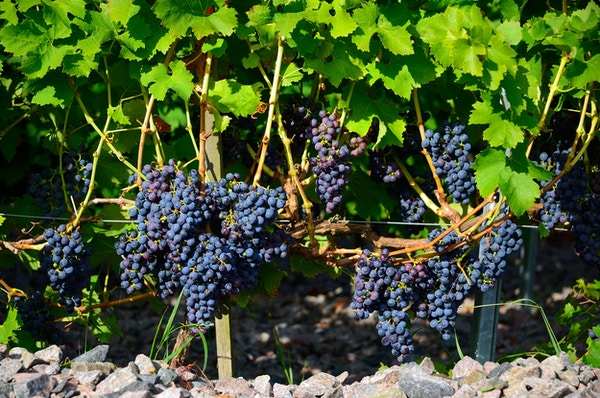 Vindruvor i solen, Vejby Vingård, Bjärehalvön, Skåne, Sweden