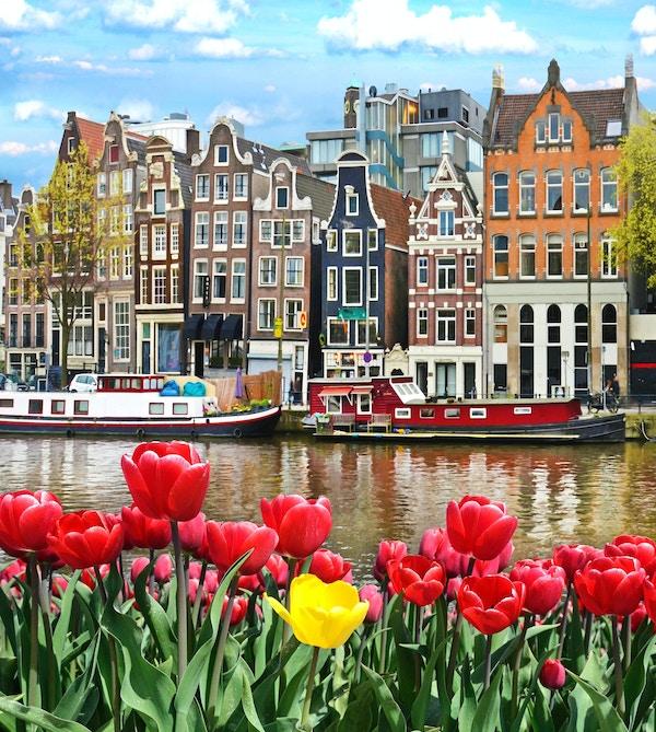 Vackert landskap med tulpaner och hus i Amsterdam, Holland (hälsningskort - koncept)