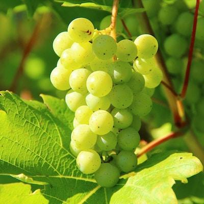 Gröna druvor med svarta prickar