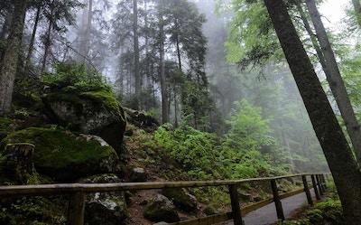 Gammel skog med dis mellom trærne