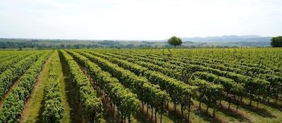 Vinranker med åslandskap i bakgrunnen