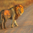 Vuxet manligt lejonanseende på grusvägen inuti den Kruger nationalparken, Sydafrika. Panthera Leo i naturmiljö. Lejonet är en del av de populära Big Five. Soluppgångsljus. Sidovy.