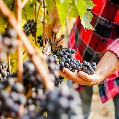 Druvor från vingården i Italien.