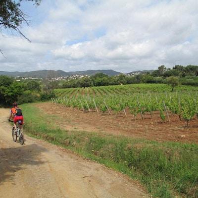 Cyklist på gårdsvägen med vinstockar. foto