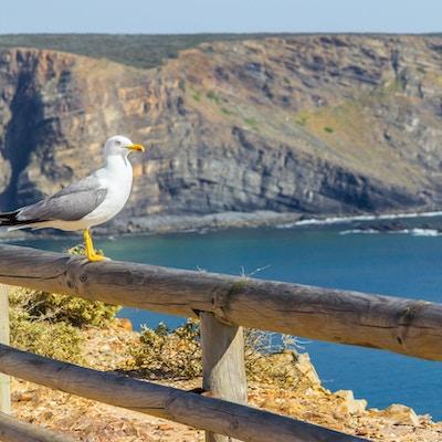Seagull, klippor och hav i Arrifana, Aljezur, Algarve, Portugal