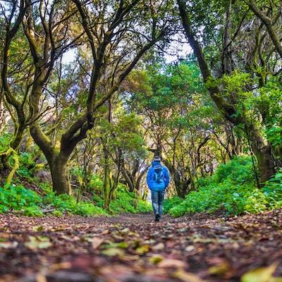 Sikt med låg vinkel av manlig turist som vandrar genom mystisk skog av forntida träd på ön El Hierro nära Marockos kust, Kanarieöarna, Spanien, Europa