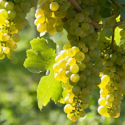 Vindruvor i det berömda österrikiska vinodlingsområdet Wachau (Spitz), Nedre Österrike