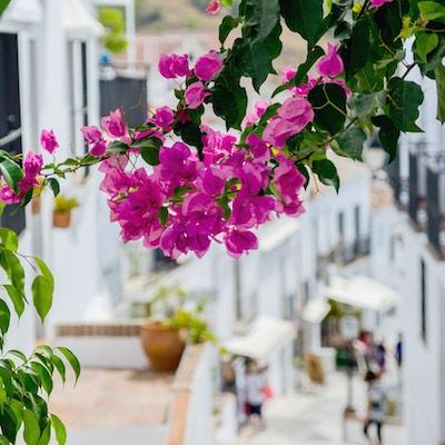Bougainvillea på gatorna i Frigiliana, Malaga, Spanien