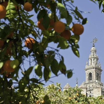 Seville oranges framing la giralda 157422032 4288x2848