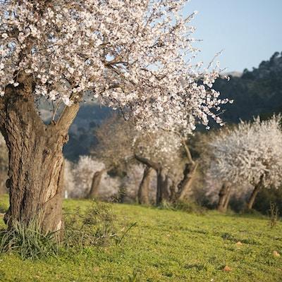 Mandelträdfält i Mallorca, Balearerna, Spanien.