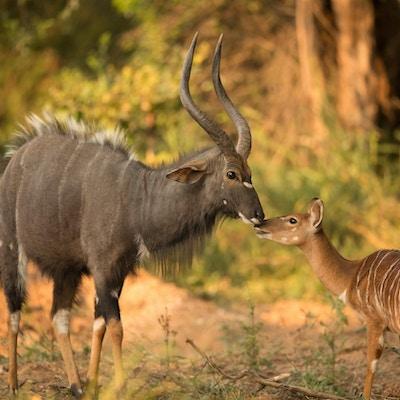 Antiloper Makutsi