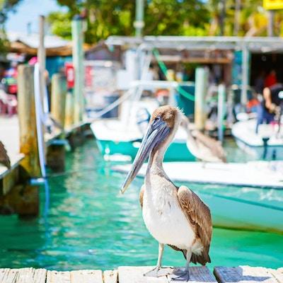 Stora bruna pelikaner i hamn i Islamorada, Florida Keys. Väntar på fisk på Robbie's Marina